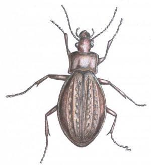 laufkäfer scarabus granulatus